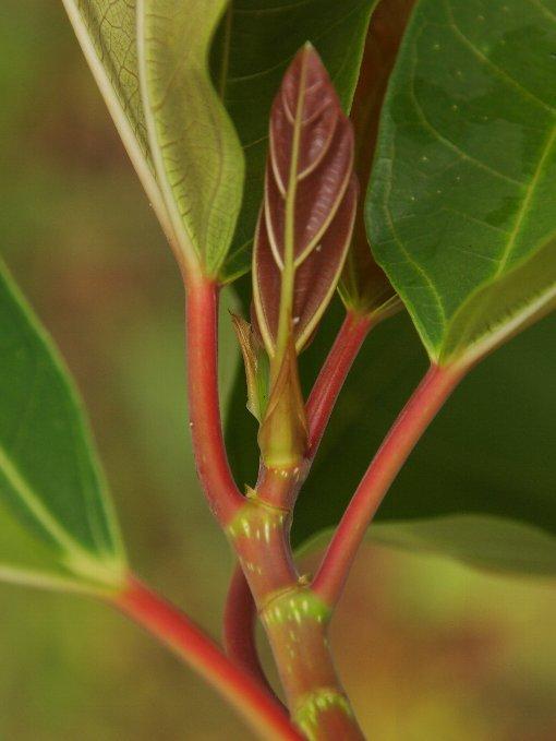 Ficus_auriculata_6