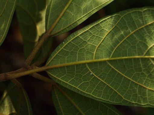 Ficus_cambodica3
