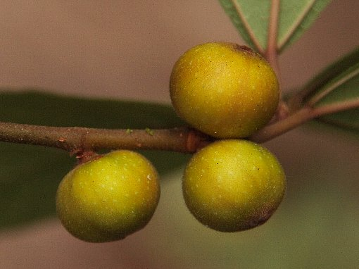Ficus_cambodica_2