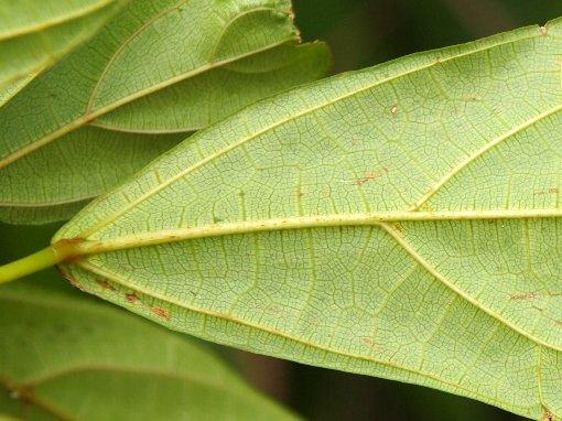 Ficus_chartacea3