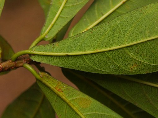 Ficus_ischinopoda2