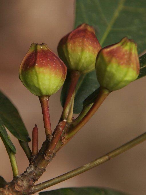 Ficus_ischinopoda3