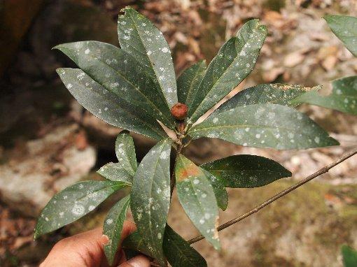 Ficus_ischnopoda
