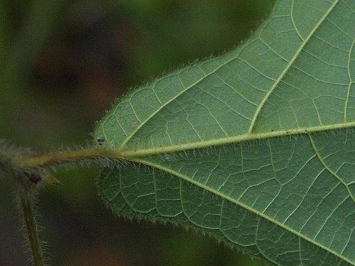 Ficus_hirrta2