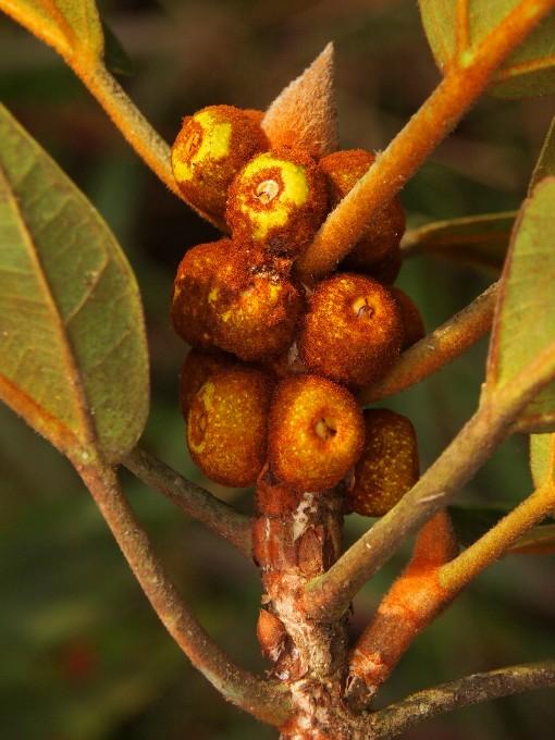 Ficus_consociata2
