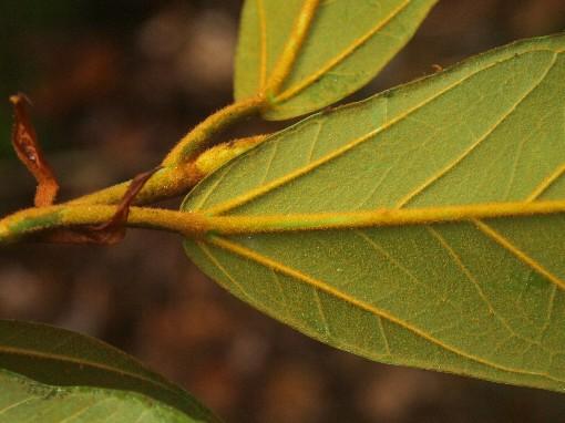 Ficus_consociata3