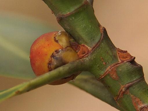 Ficus_curtipes3