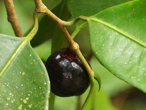 Ficus_kurzii_3