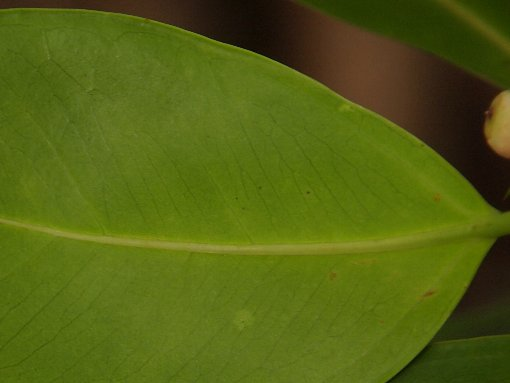 Ficus_microcarpa_2