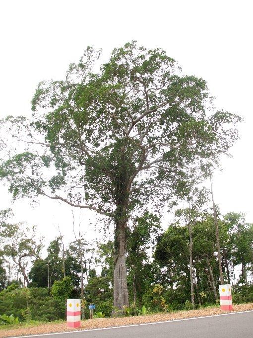 Ficus_altissima2