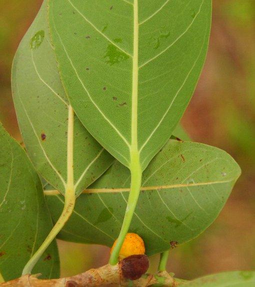 Ficus_altissima3