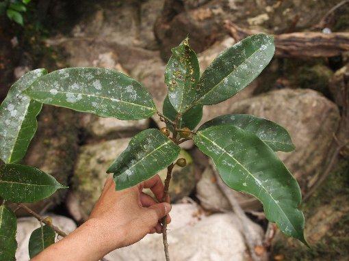Ficus_glaberrima