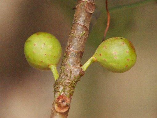 Ficus_glaberrima3
