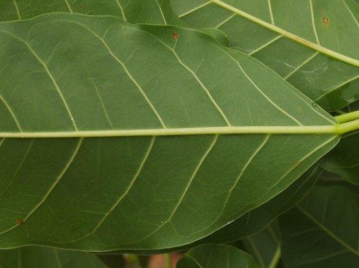 Ficus_virens2