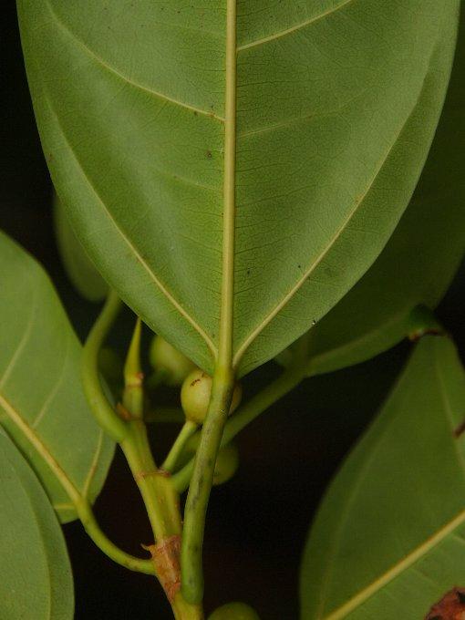 Ficus_glaberrima2
