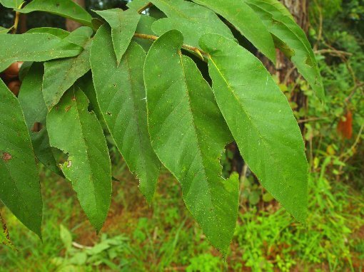 Ficus_semicordata