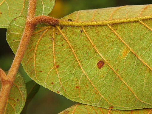 Ficus_semicordata2