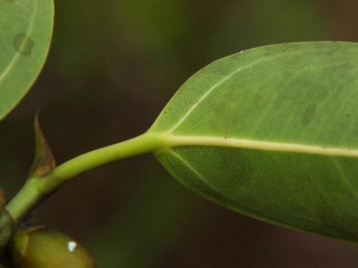 Ficus_sundaica2