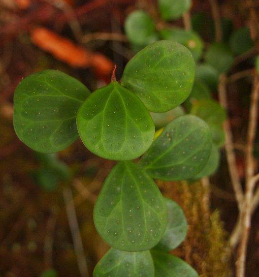 Ficus_deltoidea_2
