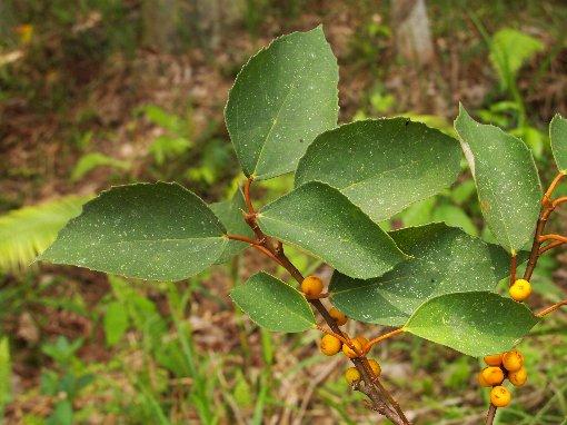 Ficus_grossularioides