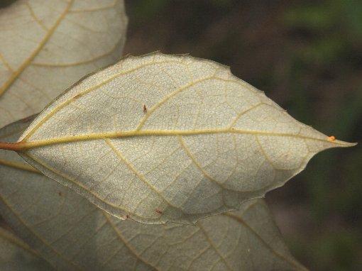 Ficus_grossularioides_2