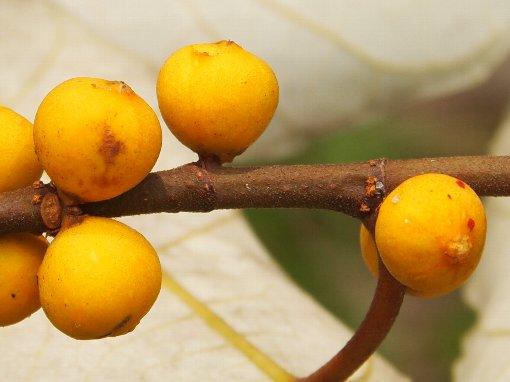 Ficus_grossularioides_3