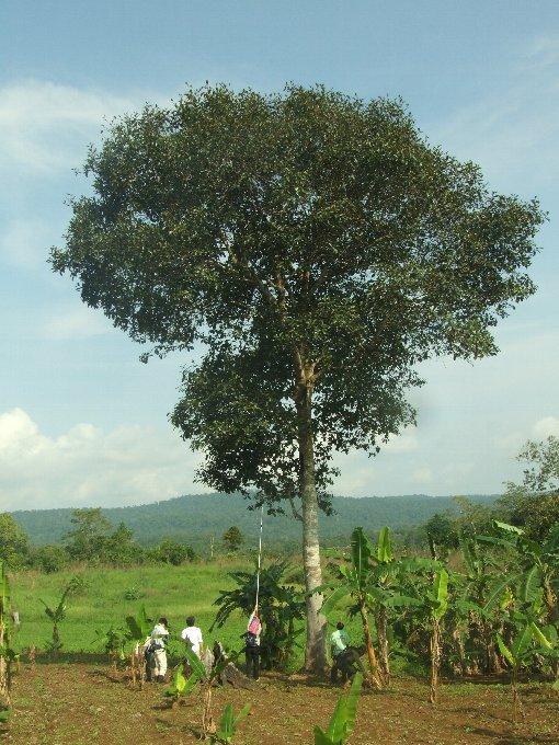Artocarpus_chama