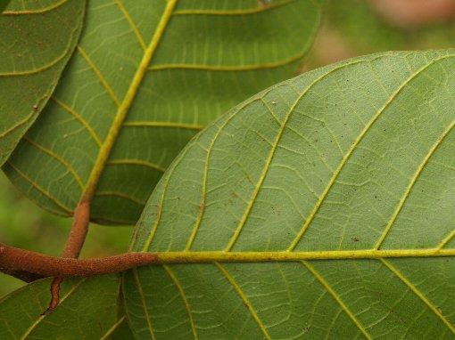 Artocarpus_chama2