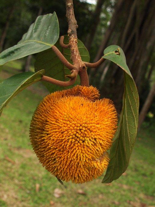 Artocarpus_chama3
