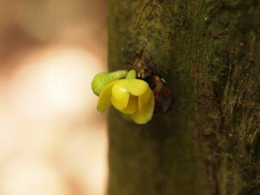 Sageraea_elliptica_flower