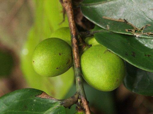 Sageraea_elliptica_fruit