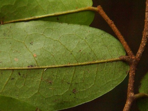 Polyalthia_parviflora2