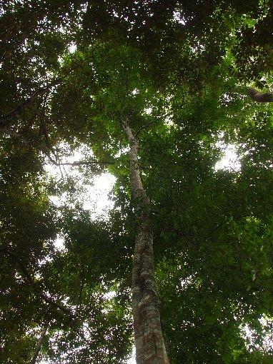 Chieniodendron_hainanense2