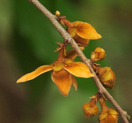 Chieniodendron_hainanense4