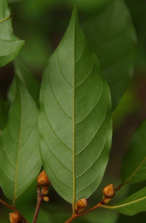 Chieniodendron_hainanense5
