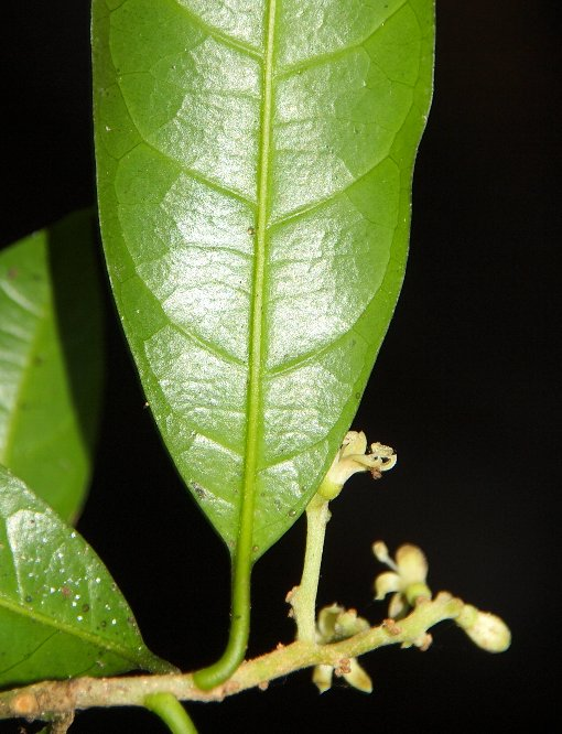 Notaphotides_montana2_2