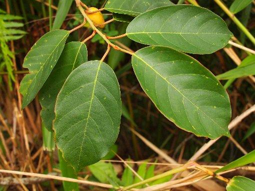 Platea_latifolia
