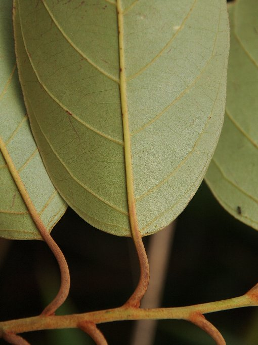 Platea_latifolia2