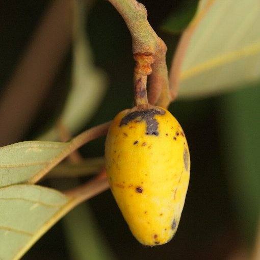 Platea_latifolia3