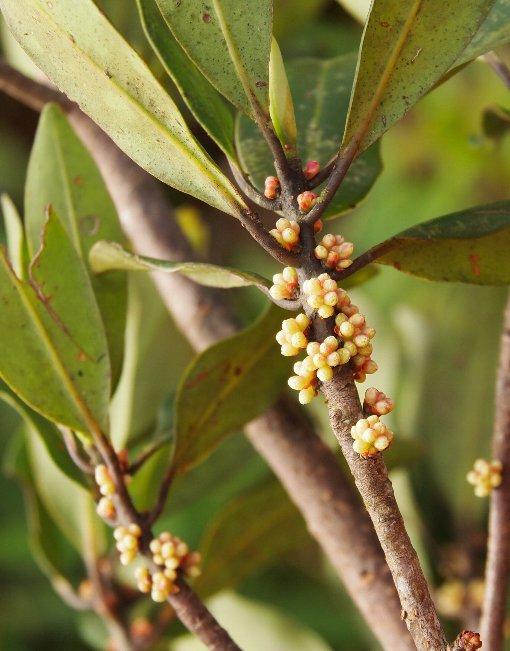 Rapanea_neriifolia3