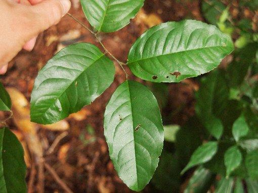 Embelia_oblongifolia