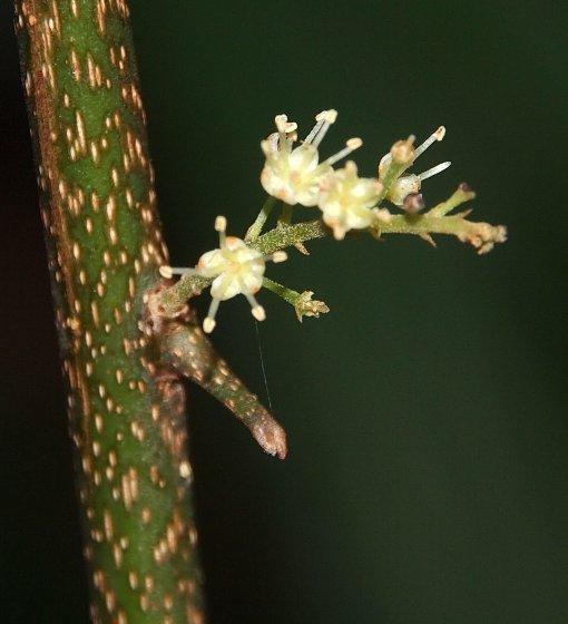 Embelia_oblongifolia3