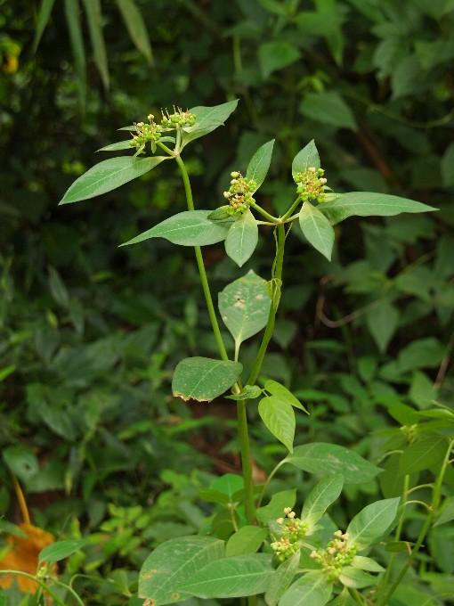 Euphorbia_heterophylla