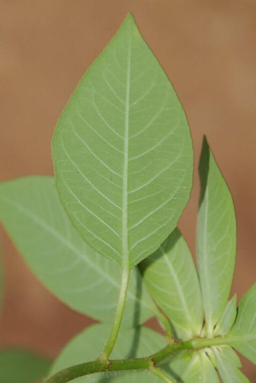 Euphorbia_heterophylla2