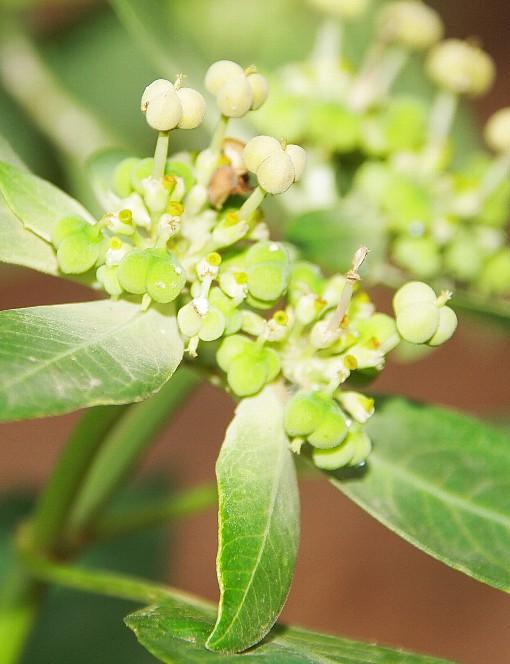 Euphorbia_heterophylla3