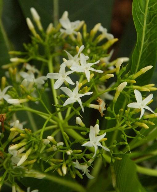 Alstonia_macrophylla3