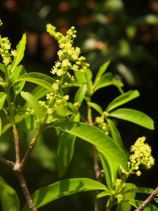 Croton_phuquoacensis