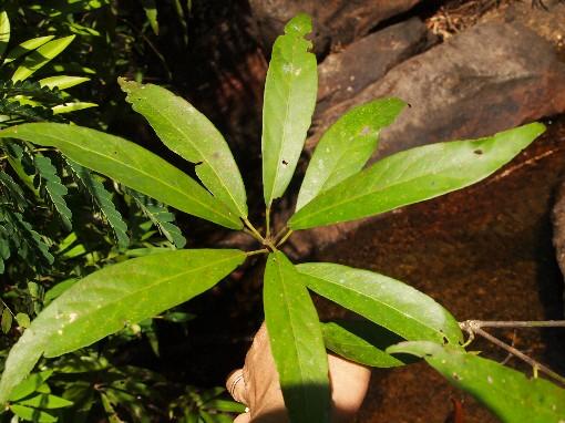 Croton_phuquoacensis3