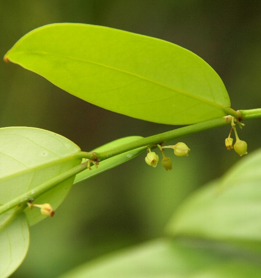 Phyllanthus_phuquocensis4