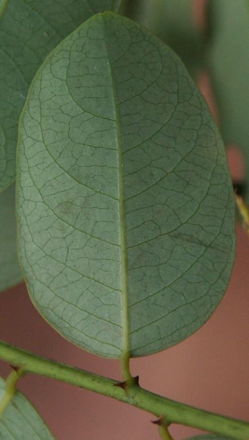 Phyllanthus_microcarpus2